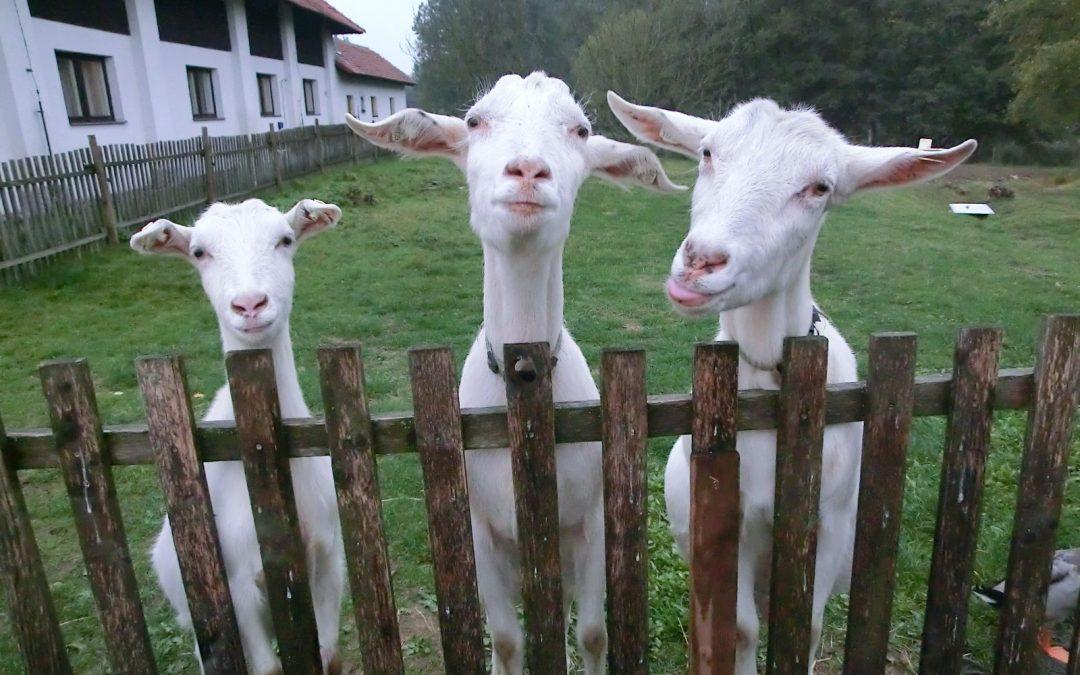 Moje báječné kozy